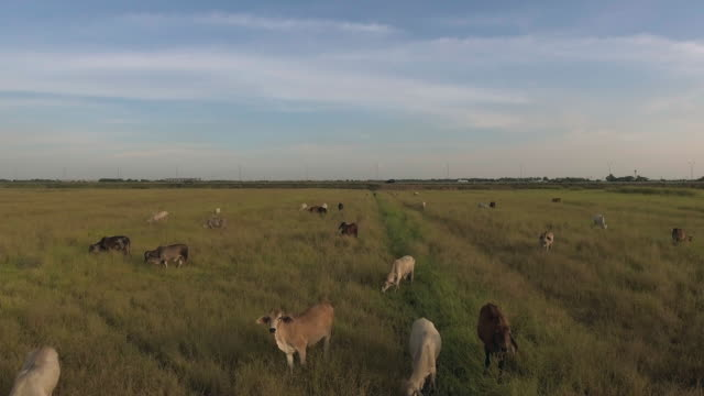 aerial:flying over green field with cows - ranch stock videos & royalty-free footage