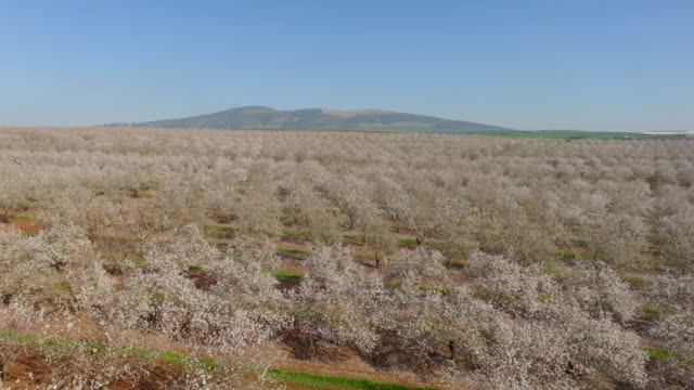 Aerial/Jezreel Valley-Almond trees bloom , Israel