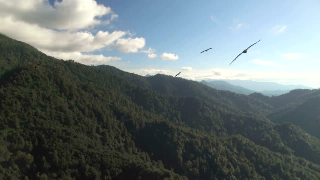 aerial/migrating raptors above caucasus mountians with black sea in background , batumi, georgia - large group of animals stock-videos und b-roll-filmmaterial
