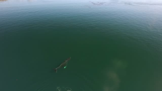 Aerial/Pan Down: Whales Swimming And Spraying In Green Ocean
