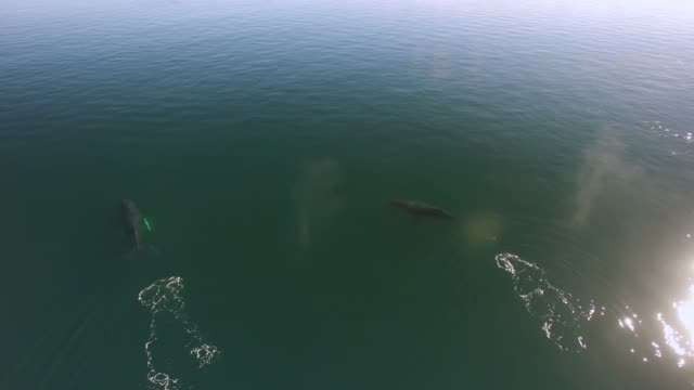 Aerial/Pan Left: Whales Swimming And Spraying In Green Ocean