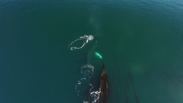 aerial/pan right: whales swimming and spraying in seaweed filled ocean - cetaceo video stock e b–roll