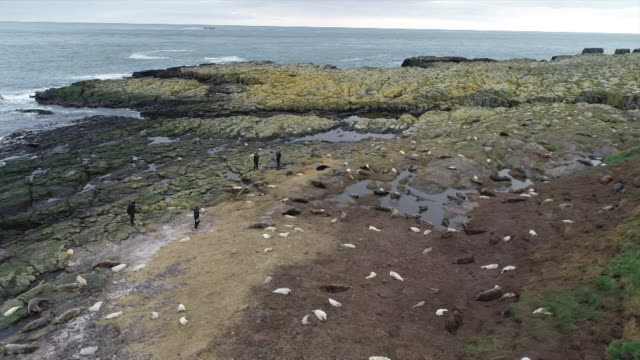 aerials grey seal pups being counted, farne islands - grey seal stock videos & royalty-free footage