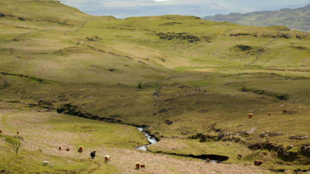 aerials highland cattle graze by stream, isle of mull - hebrides stock videos & royalty-free footage