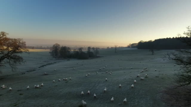 aerials of frost-covered landscape with sheep, uk - large group of animals stock videos & royalty-free footage