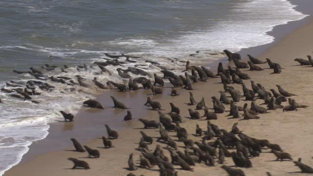 vídeos de stock e filmes b-roll de aerials of seals on a beach in namibia. - foca