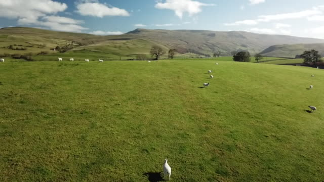 aerials of sheep grazing in field in british countryside - grass stock videos & royalty-free footage