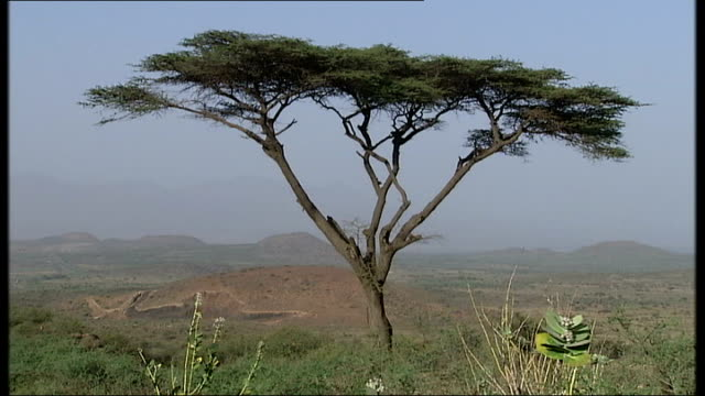 vídeos de stock e filmes b-roll de great rift valley / beisa oryx / baboons / nomad tribesmen; ethiopia: afar region: ext good shots of a lone acacia tree in foreground of the great... - etiópia