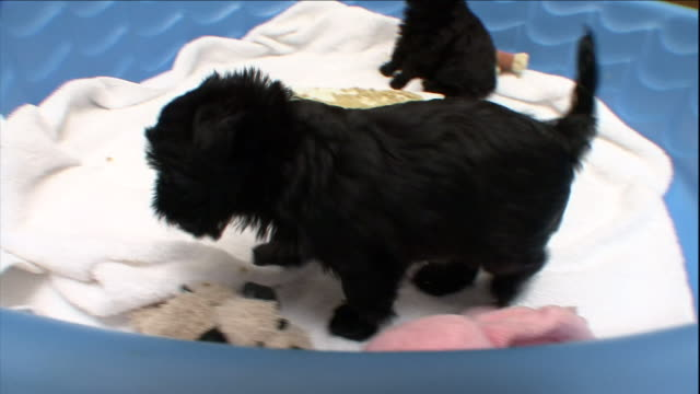 vidéos et rushes de affenpinscher puppies eat from a plate inside a blue swimming pool lined with towels. - pataugeoire