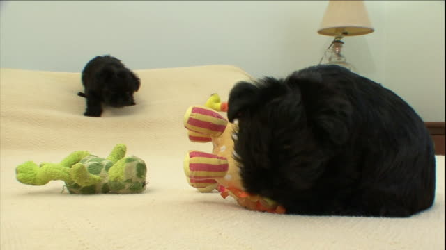 affenpinscher puppies play with pet toys on a bed. - pet bed stock videos and b-roll footage