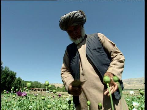 vídeos y material grabado en eventos de stock de afghan farmer scrapes sap from opium poppies with piece of metal afghanistan - tocado accesorio de cabeza