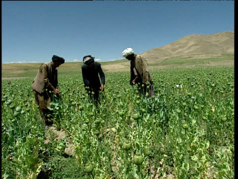 vidéos et rushes de afghan farmers score opium poppies with blade in large field afghanistan - afghanistan