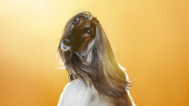 afghan hound turning round - vanity stock videos & royalty-free footage