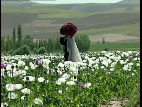 vidéos et rushes de afghan woman walks past opium poppy field carrying goods on head afghanistan - afghanistan