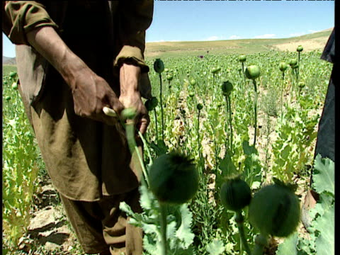 vidéos et rushes de afghans farmer score opium poppies with blade in large field afghanistan - afghanistan