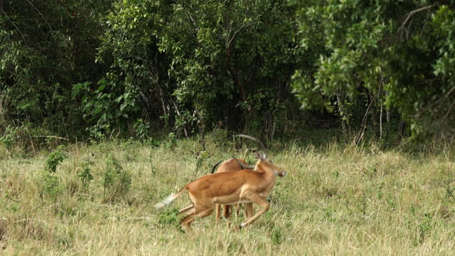 africa - antelope fighting - aggression stock videos & royalty-free footage