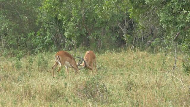 africa - antelope fighting - 角のはえた点の映像素材/bロール