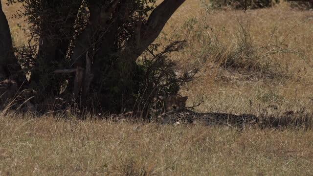 vidéos et rushes de africa - cheetah lying down under tree shade - nez d'animal