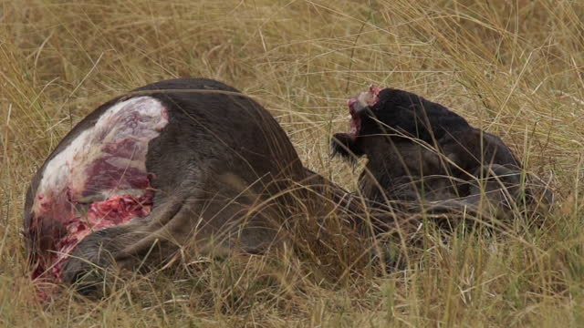 africa - dead body of wild cattle - cattle stock videos & royalty-free footage