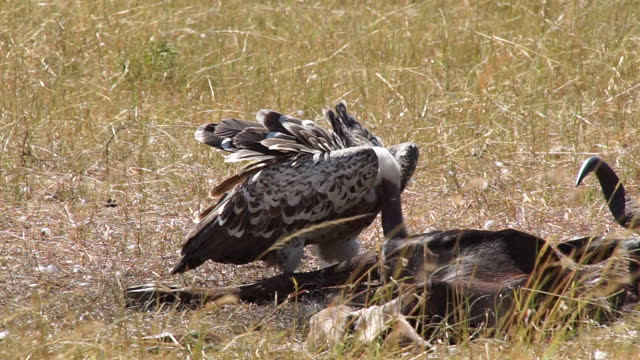 africa - eagle eating prey - animal neck stock videos & royalty-free footage