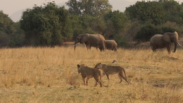 africa - elephant and lion walking - animal head stock videos & royalty-free footage