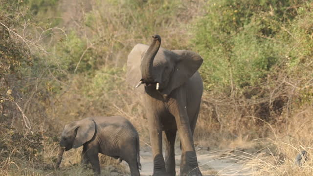 stockvideo's en b-roll-footage met africa - elephant raising trunk - dierenkop