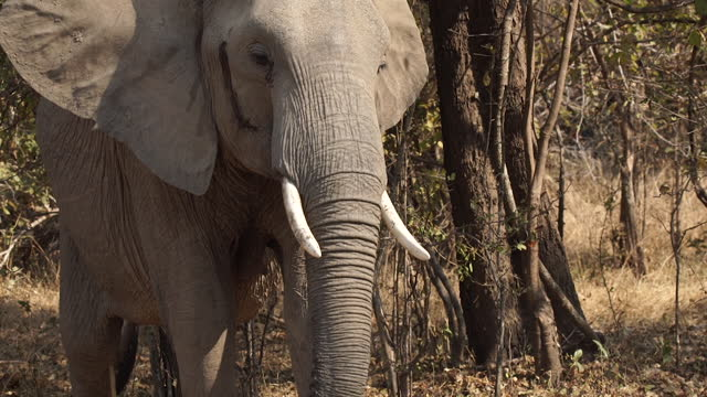 stockvideo's en b-roll-footage met africa - elephant - dierenkop