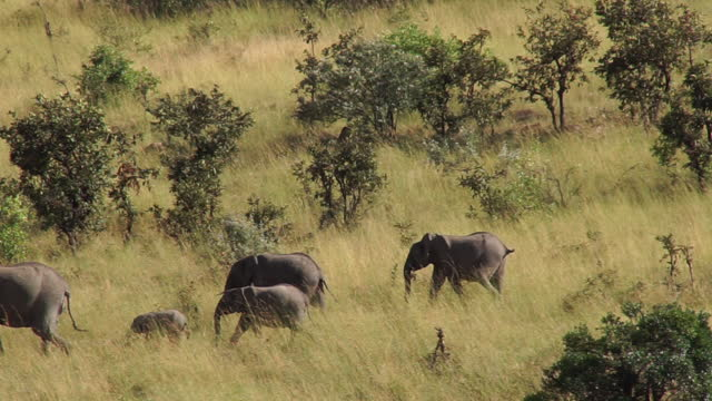 africa - elephants walking and moving - animal head stock videos & royalty-free footage