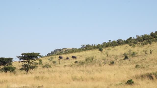 vidéos et rushes de africa - elephants walking and moving - nez d'animal