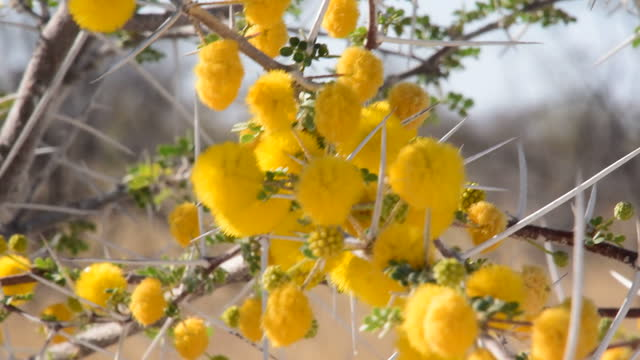 africa - flower and fruit / namibia - spine stock videos & royalty-free footage