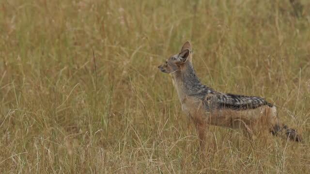 vidéos et rushes de africa - fox - nez d'animal