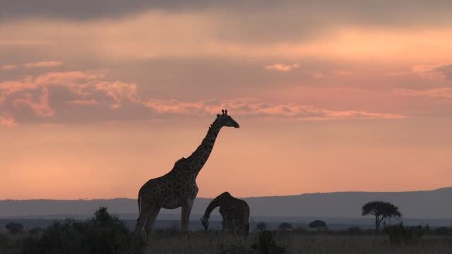 africa - giraffe - herbivorous stock videos & royalty-free footage