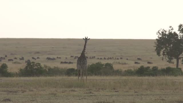 vidéos et rushes de africa - giraffe walking and moving - membre partie du corps