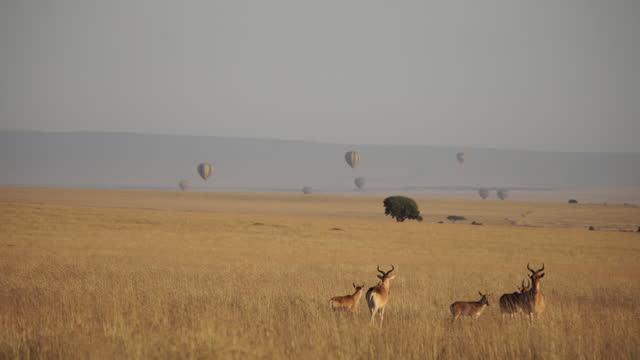 vídeos y material grabado en eventos de stock de africa - herd of impala in grassland and hot air balloon above there - grupo mediano de objetos