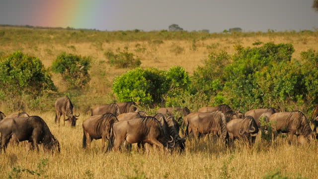 africa - herd of wildebeest and rainbow - animal neck stock videos & royalty-free footage