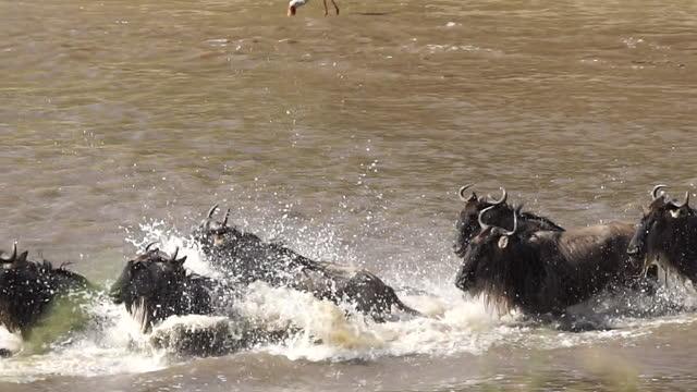 africa - herd of wildebeest crossing river - crossing stock videos & royalty-free footage