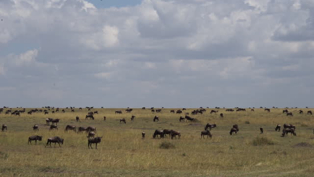 vídeos de stock e filmes b-roll de africa - herd of wildebeest in grassland - parte do corpo animal