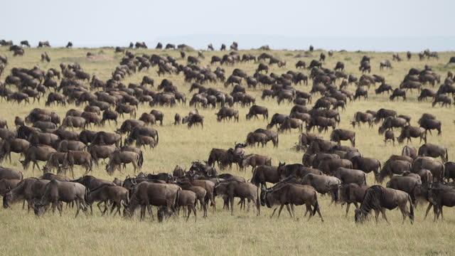 vidéos et rushes de africa - herd of wildebeest - membre partie du corps