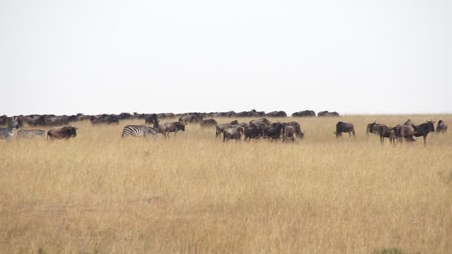 africa - herd of wildebeests and zebra in grassland - zebramuster stock-videos und b-roll-filmmaterial