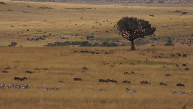 africa - herd of wildebeests and zebra moving - zebra print stock videos & royalty-free footage