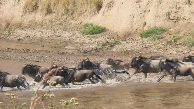 africa - herd of wildebeests crossing river - herbivorous stock videos & royalty-free footage
