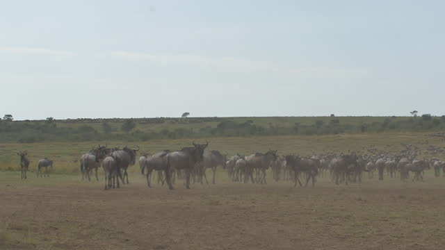 africa - herd of wildebeests moving - herbivorous stock videos & royalty-free footage