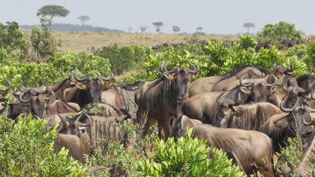 africa - herd of wildebeests moving - växtätare bildbanksvideor och videomaterial från bakom kulisserna