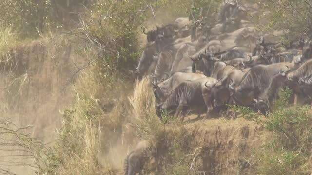 africa - herd of wildebeests on cliff - växtätare bildbanksvideor och videomaterial från bakom kulisserna
