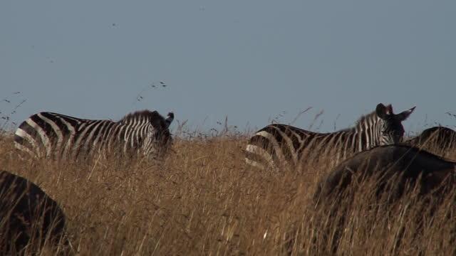 africa - herd of zebras and wildebeests - zebramuster stock-videos und b-roll-filmmaterial