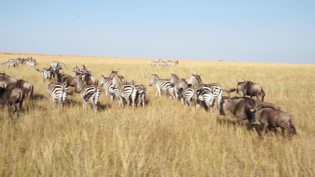 africa - herd of zebras and wildebeests - zebra print stock videos & royalty-free footage