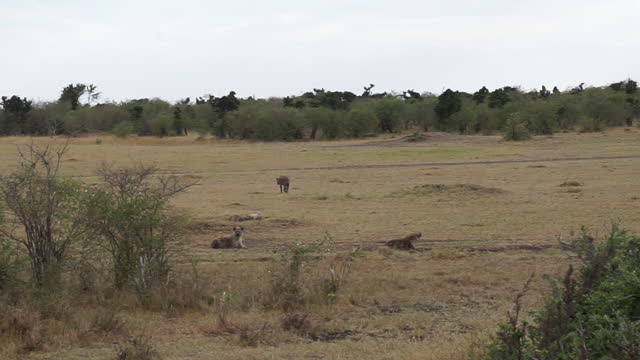 vídeos y material grabado en eventos de stock de africa - hyena - grupo pequeño de animales