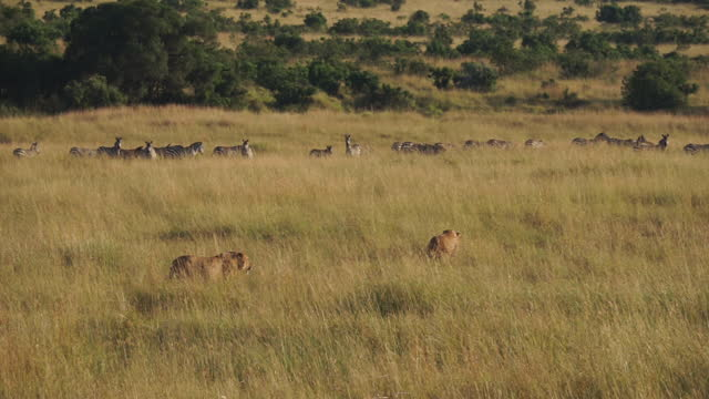 africa - lion and zebra moving - zebra print stock videos & royalty-free footage