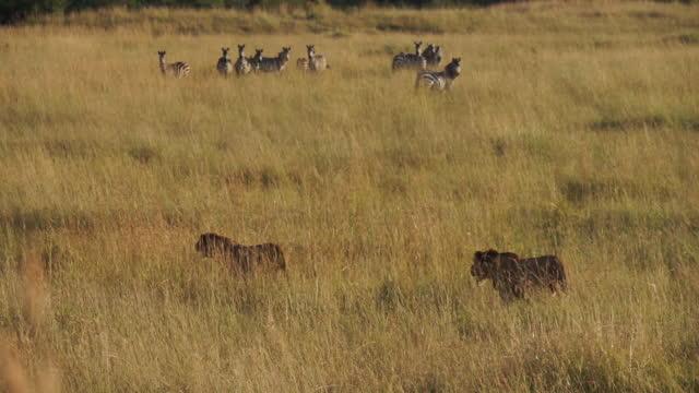 africa - lion and zebra moving - zebramuster stock-videos und b-roll-filmmaterial