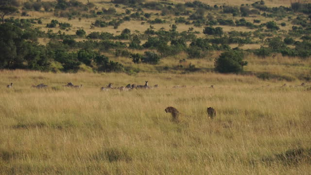 africa - lion and zebra - zebramuster stock-videos und b-roll-filmmaterial